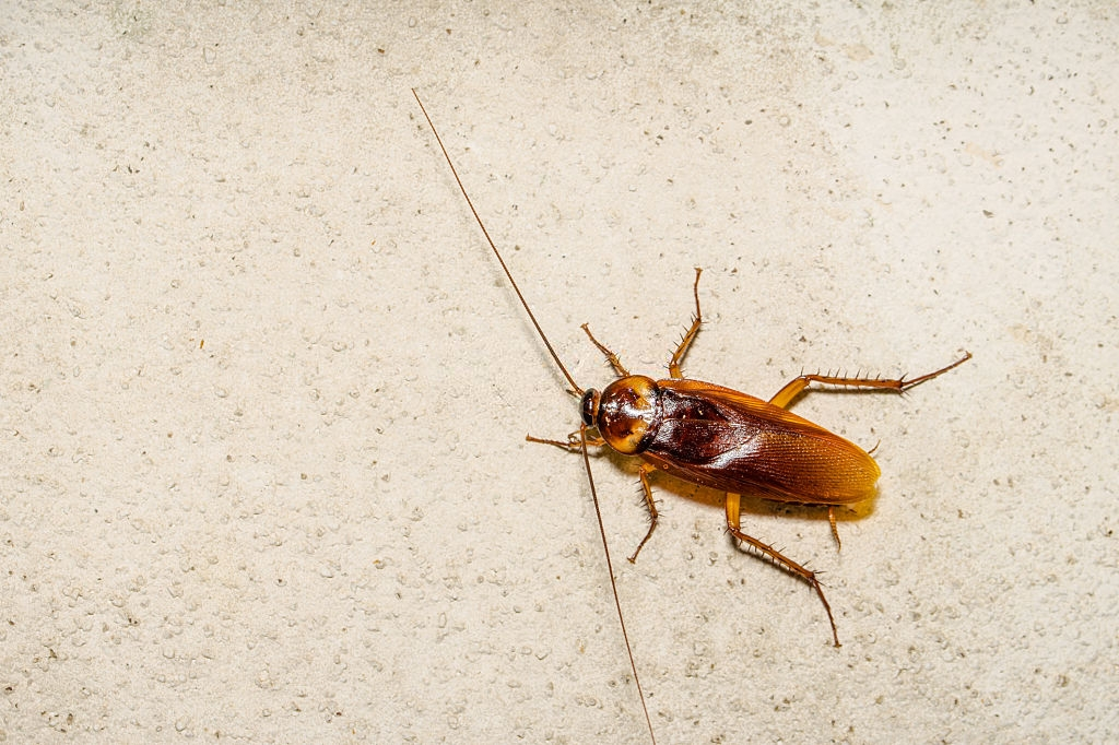 Cockroach Control, Pest Control in Balham, SW12. Call Now 020 8166 9746