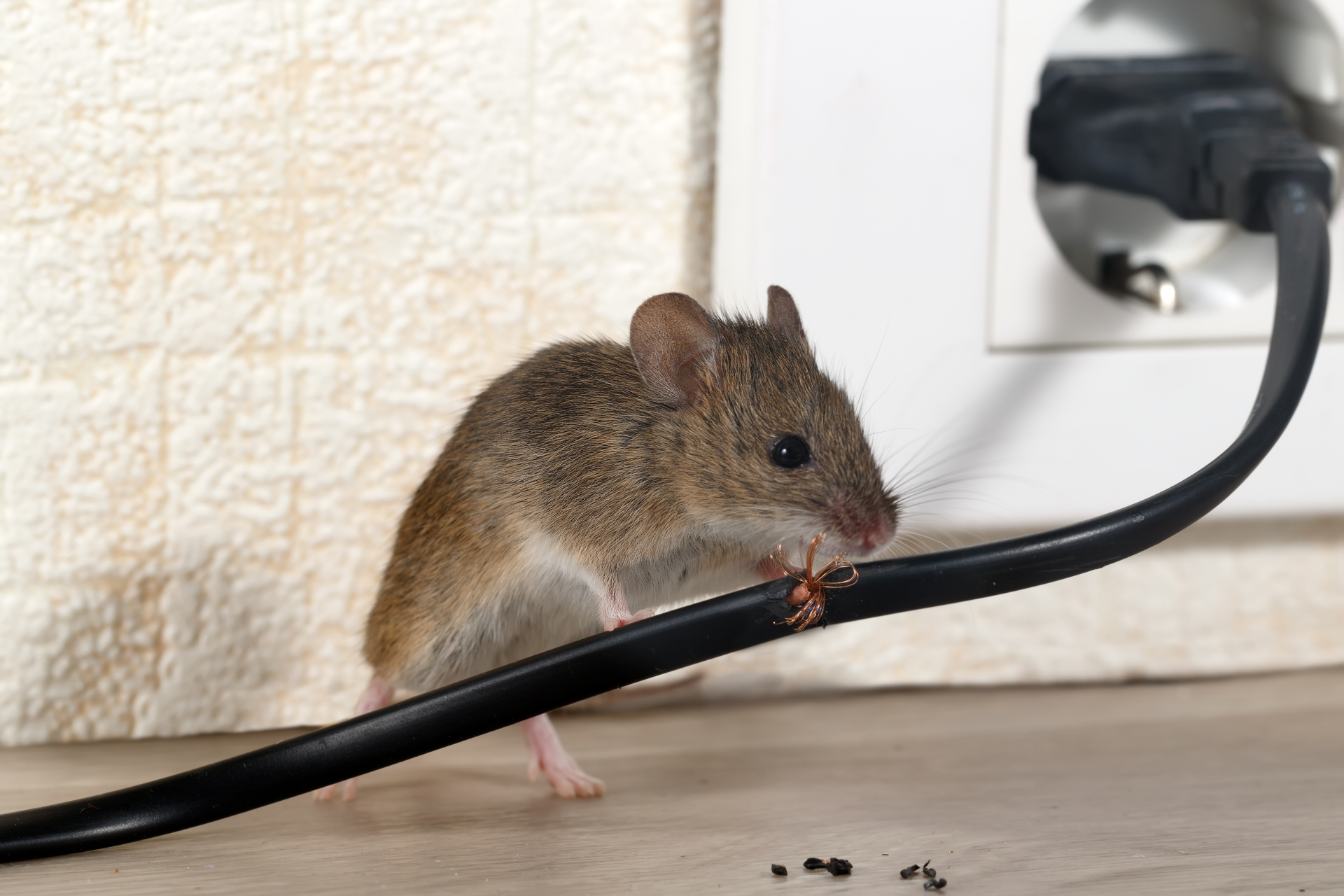 Mice Infestation, Pest Control in Balham, SW12. Call Now 020 8166 9746