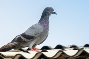 Pigeon Pest, Pest Control in Balham, SW12. Call Now 020 8166 9746