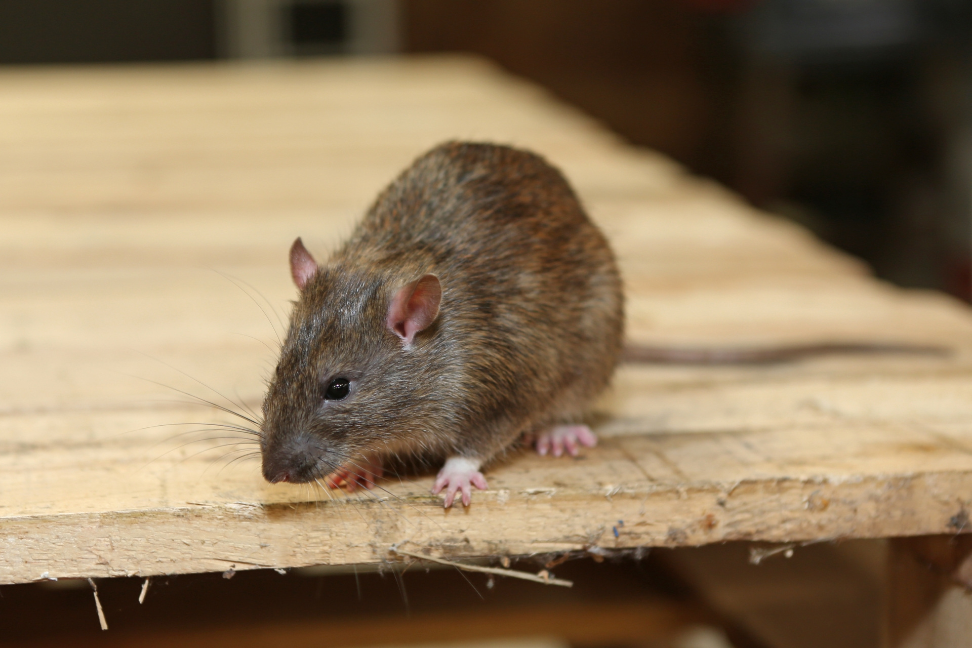 Rat Infestation, Pest Control in Balham, SW12. Call Now 020 8166 9746