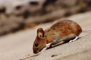 Mouse extermination, Pest Control in Balham, SW12. Call Now 020 8166 9746