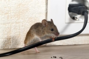Mice Control, Pest Control in Balham, SW12. Call Now 020 8166 9746